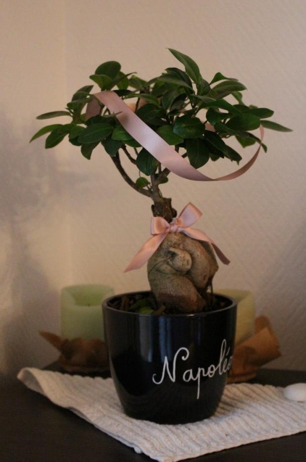 Un ficus-bonsaï au nom pompeux qui a revêtu ses plus beaux atours...